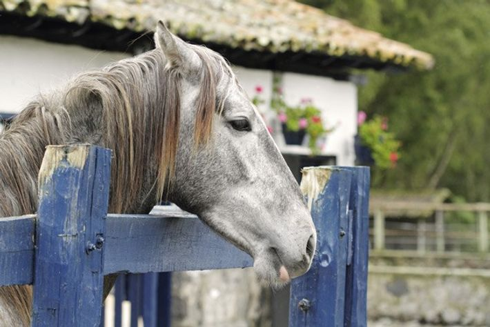 Thoroughbred horse, Hacienda Zuleta.
