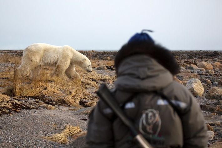 Polar bear spotting in Manitoba, Canada