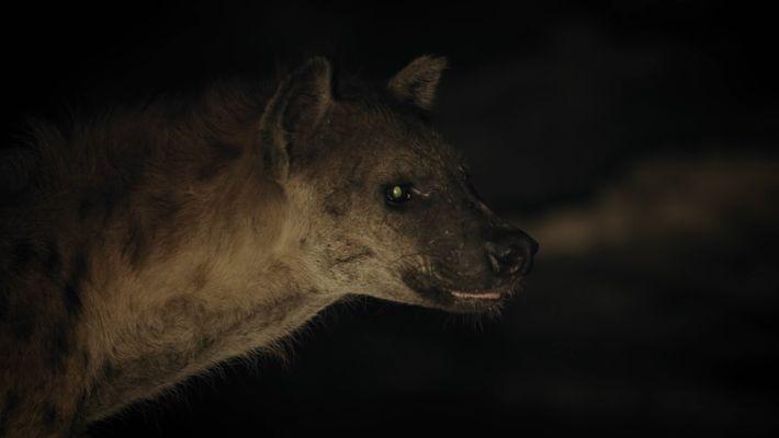 Hyenas steal crocodile's kill