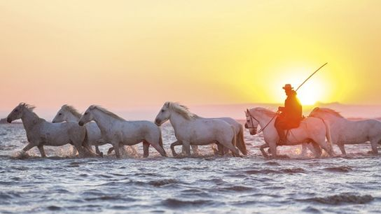 Horses in the Camargue, France