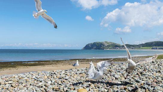 Seagulls on Llandudno beach.
