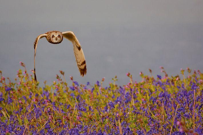 Short-eared owl, Pembrokeshire Coast