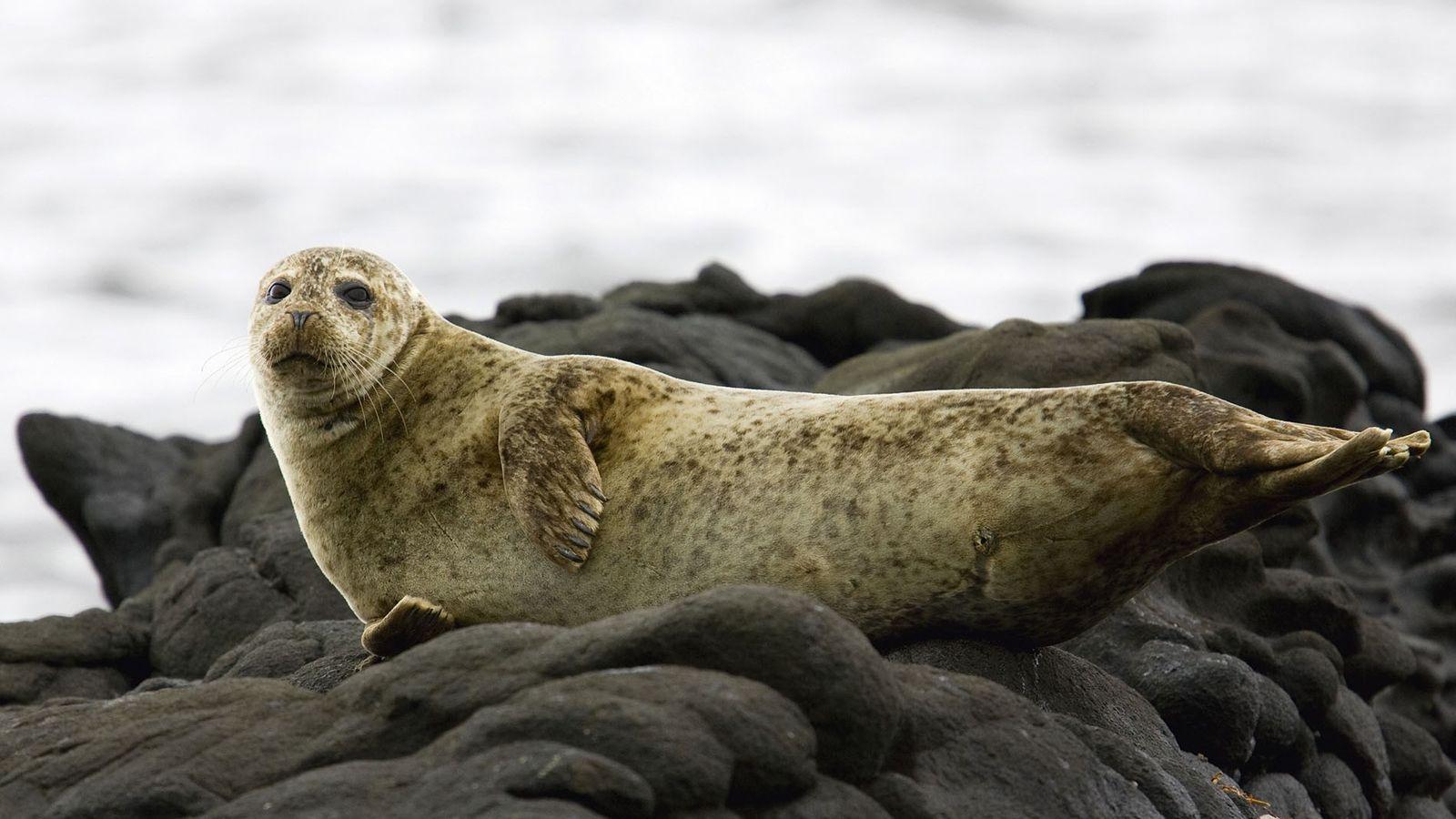 Common seals on the Isle of Arran.