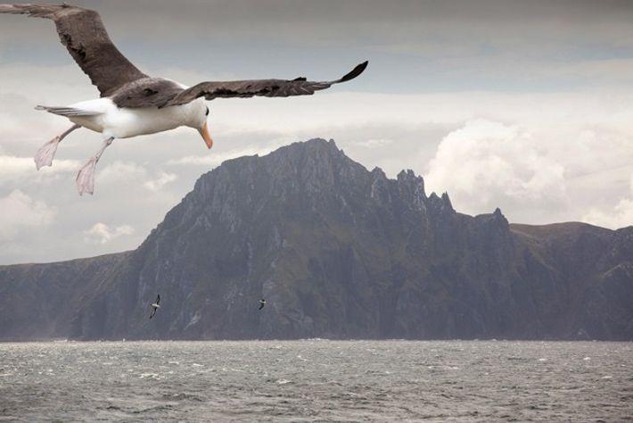 Black Browed Albatross, Cape Horn, South America