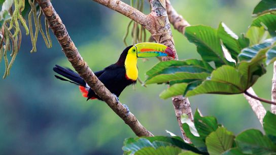 Toucan in rainforest