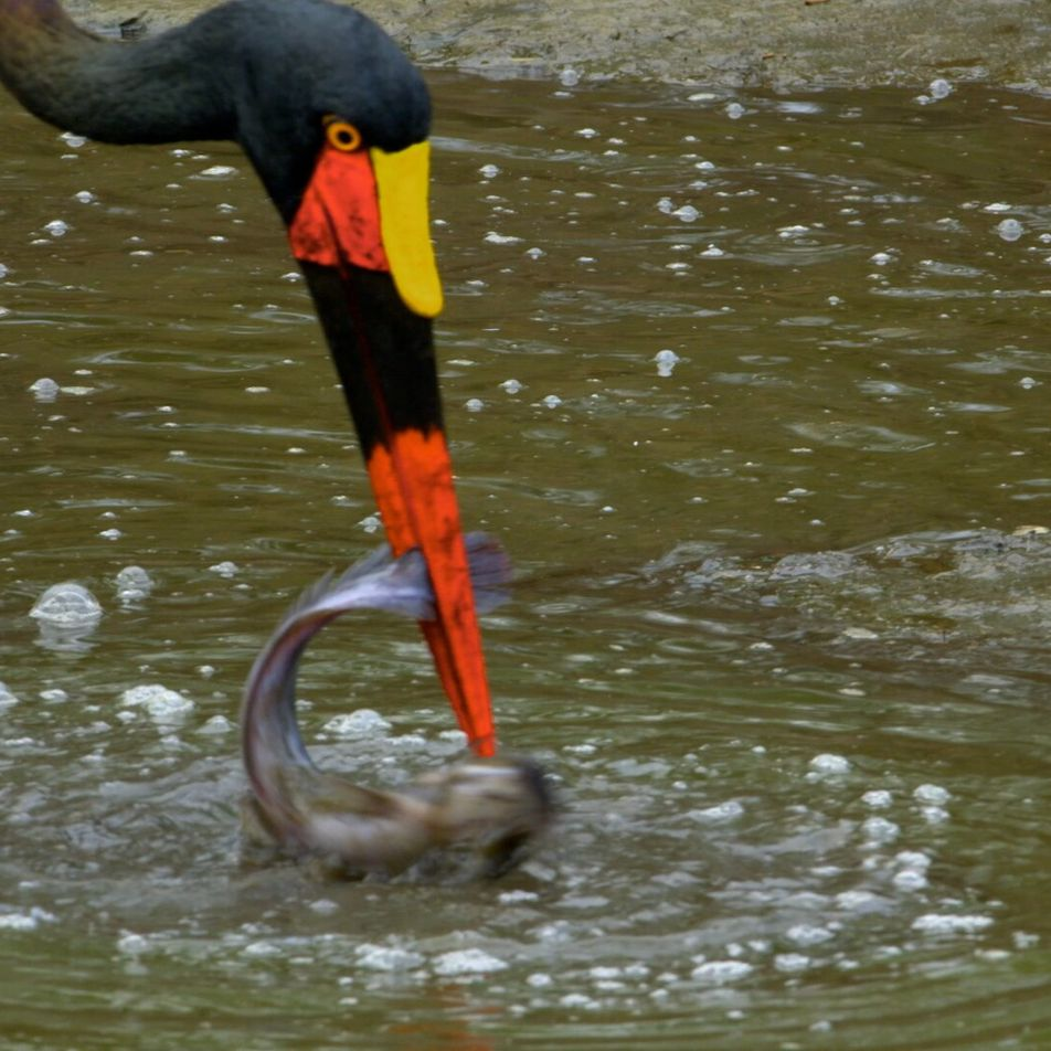 WATCH: A saddle-billed stork is surprised by an African fish eagle whilst trying to hunt.