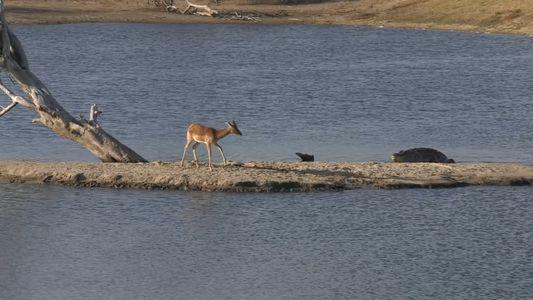 Watch: Impala Faces Crocodile, Hippo in Impossible Standoff