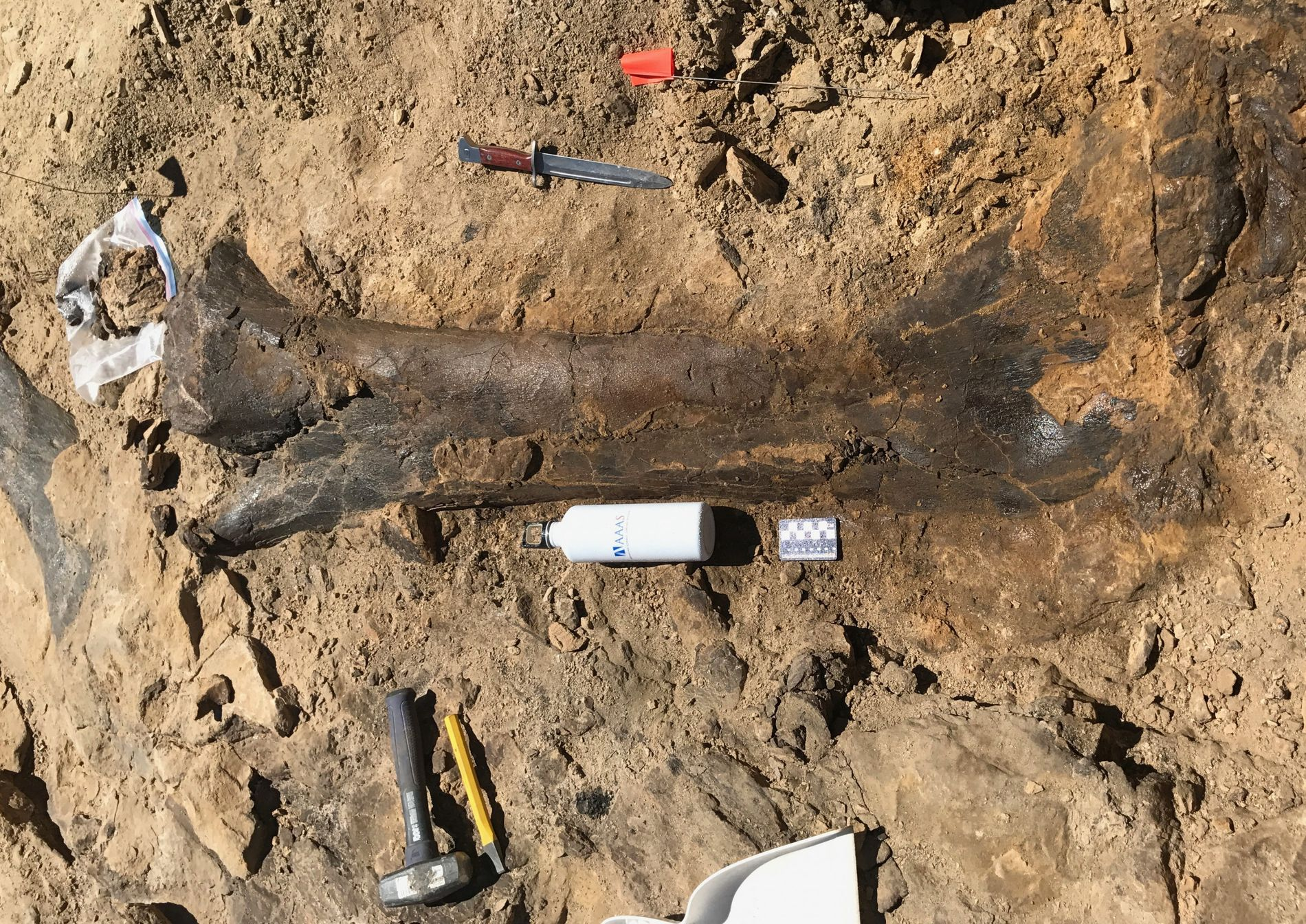 """An embarrassment of riches."" A sauropod femur emerges from the rock at the Jurassic Mile dig ..."