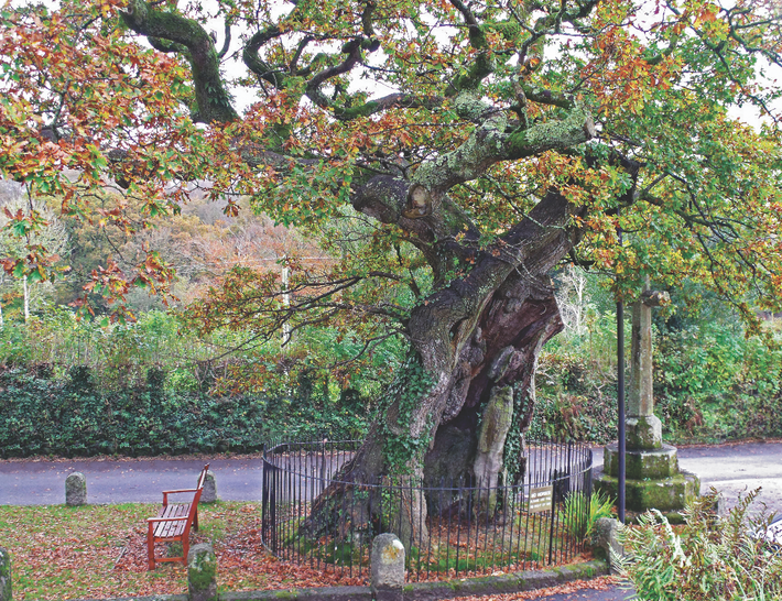 This handsome oak has stood proud on Dartmoor for nearly 1,000 years. It's a contender to ...