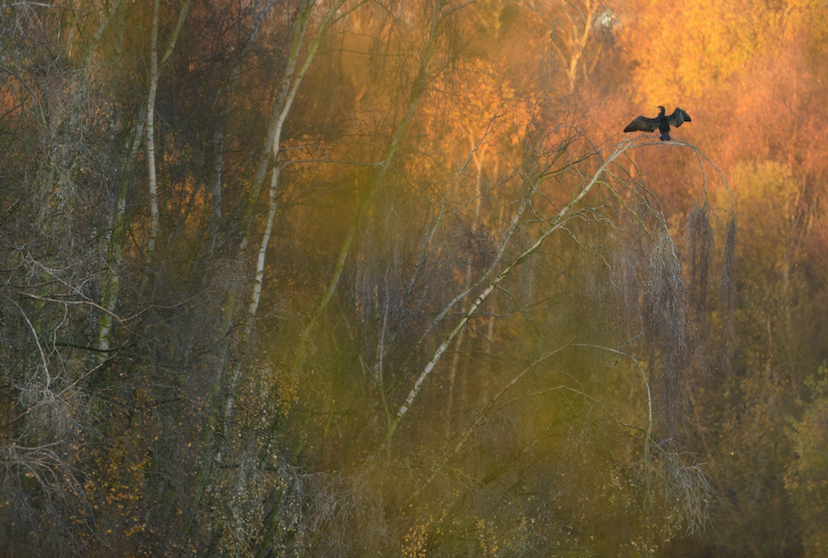 Great Cormorants, Holme Fen National Nature Reserve, Cambridgeshire.