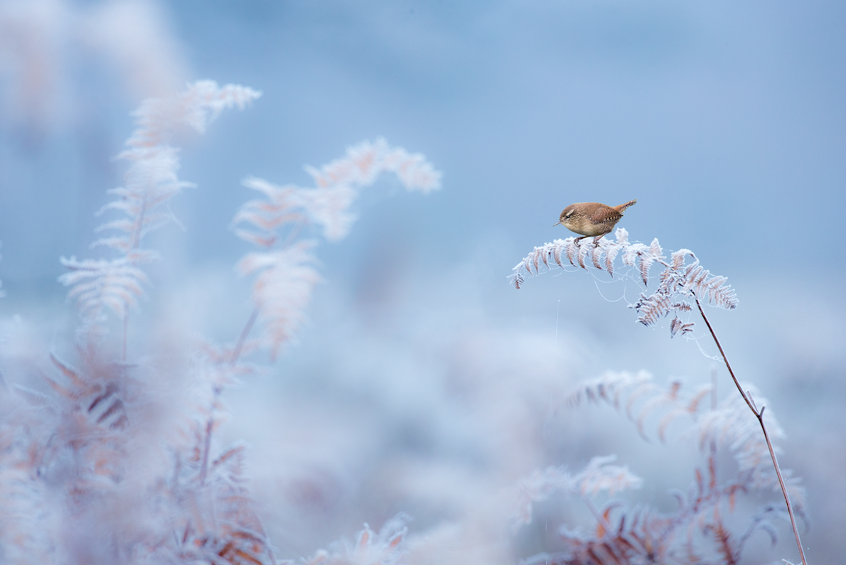 Wren on Frost-Encrusted Fern, Dunham Massey, Cheshire.