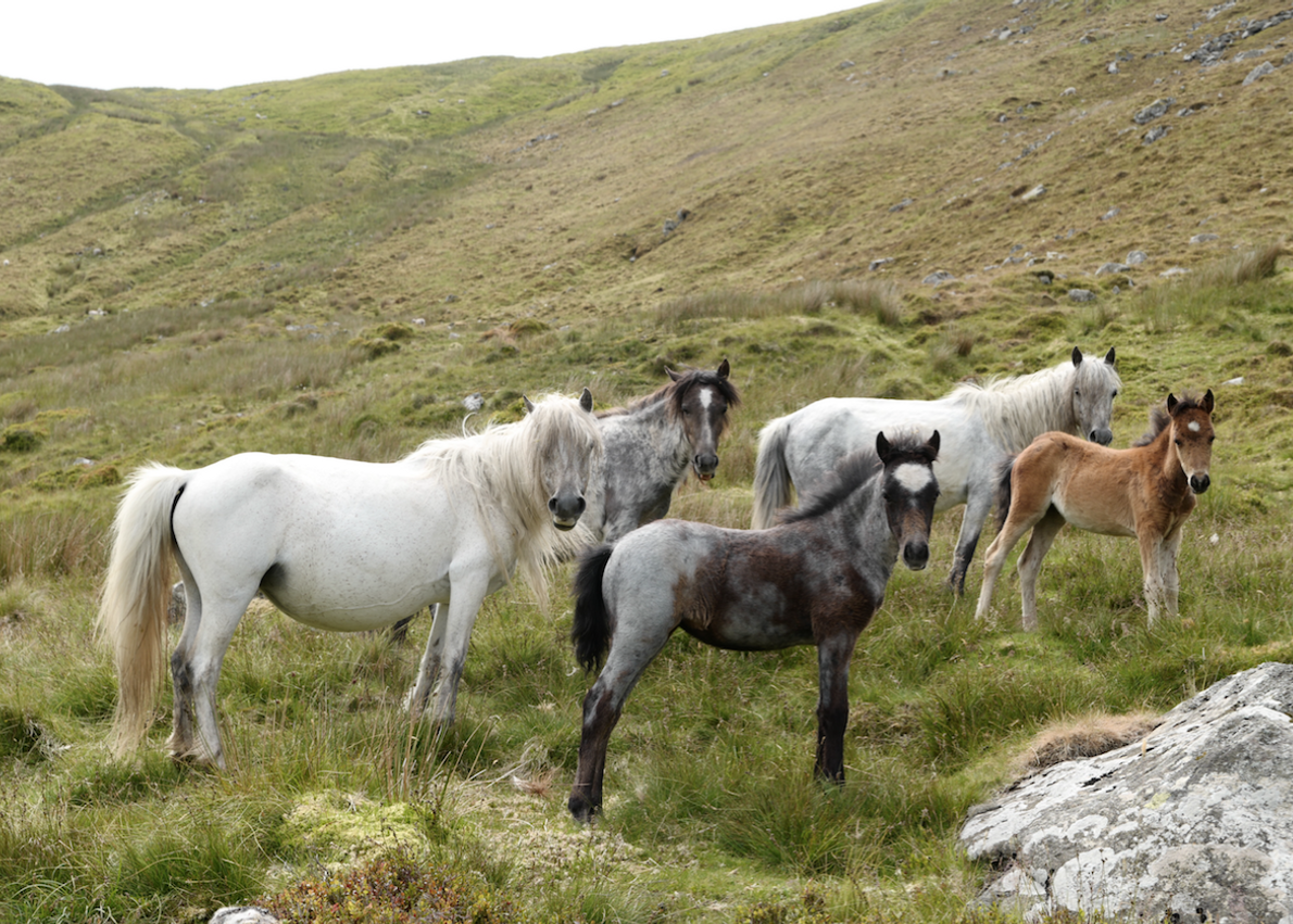 Each herd has a matriarch that is believed to be more influential than the group's stallion. ...