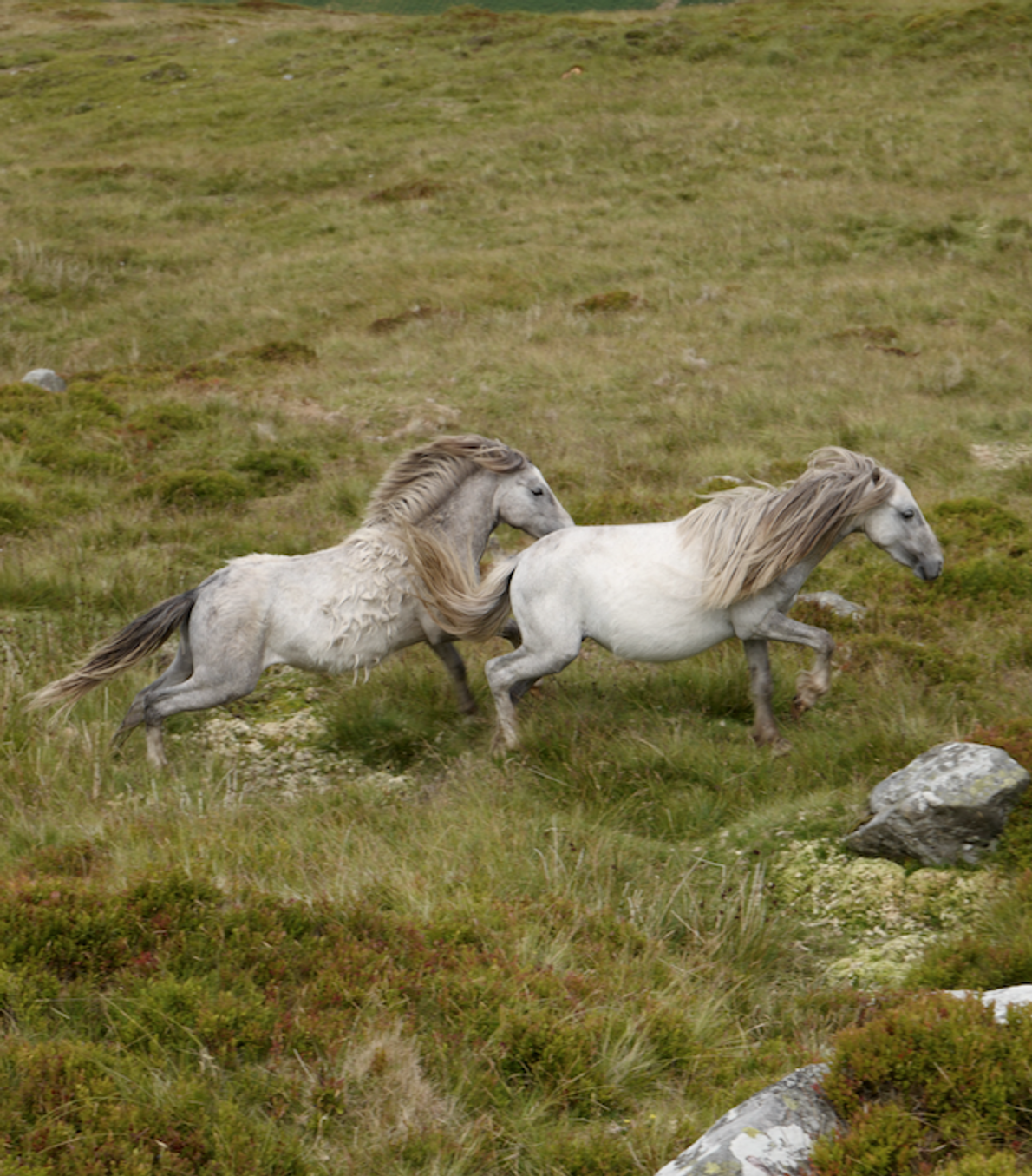 Thousands of these wild ponies once roamed the mountains of Snowdonia, but only about 220 remain.