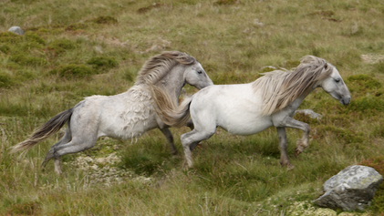 Wild Horses of Wales: Rugged, Resilient and In Danger