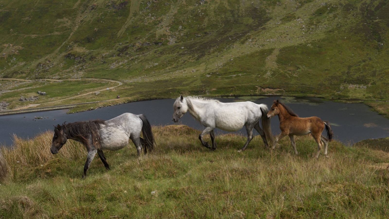 The toughest and most resilient groups of Welsh Carneddau mountain ponies occupy higher altitudes, where winter ...
