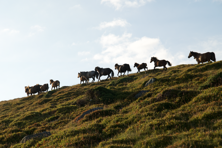 Each herd has a matriarch that is believed to be more influential than the group's stallion. Thousands of these wild ponies once roamed the mountains of Snowdonia, but only about 220 remain.
