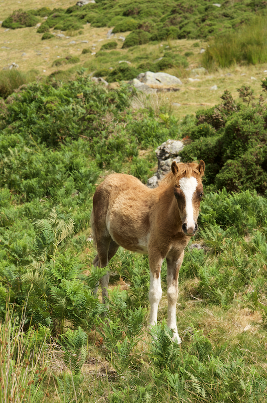 Carneddau ponies are gathered annually for health checks by local farmers, who clip their tails before ...