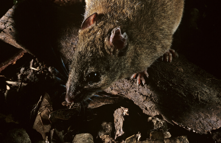 First mammal species recognized as extinct due to climate change
