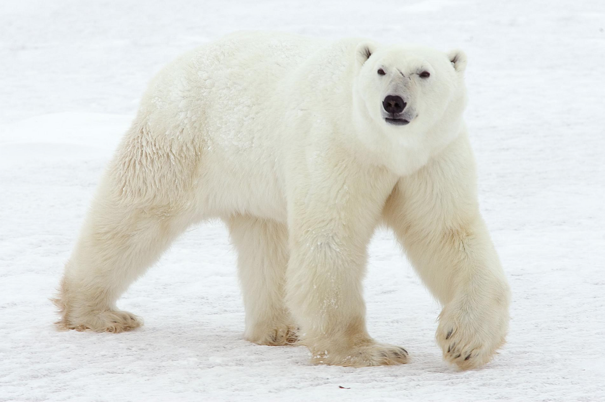 International Polar Bear Day: 27th February