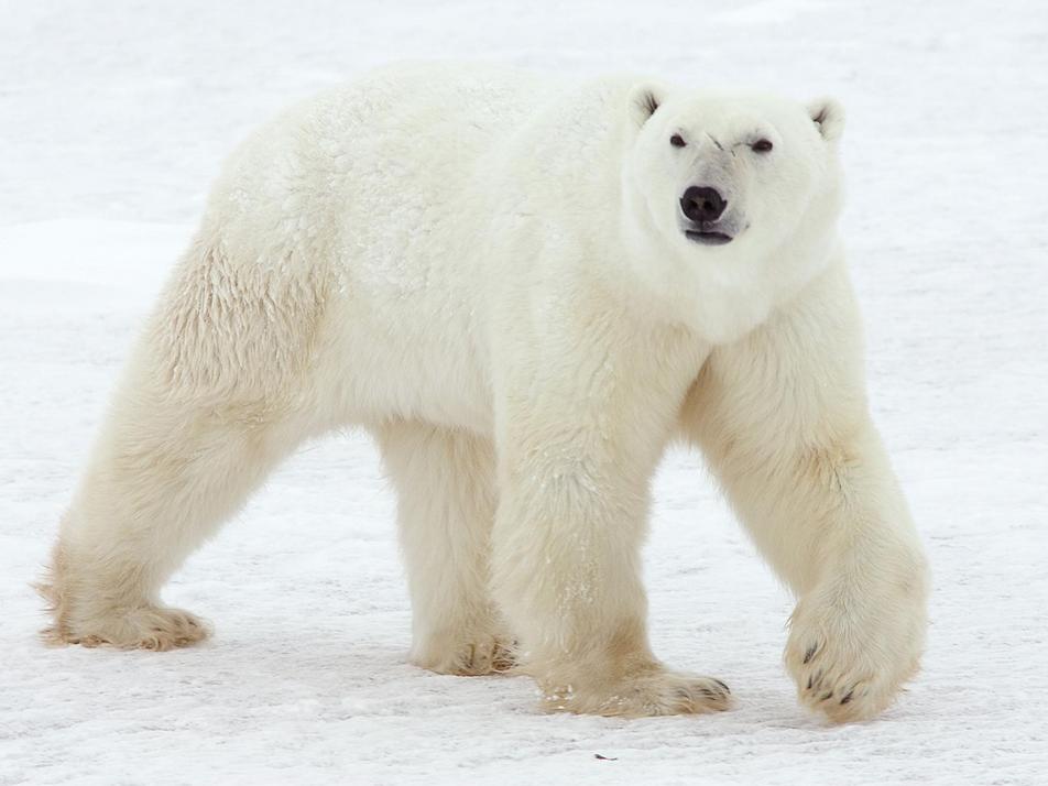 International Polar Bear Day: 27th February