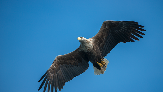The white-tailed eagle is Britain's biggest bird of prey. Hunted to extinction in Britain, it was ...
