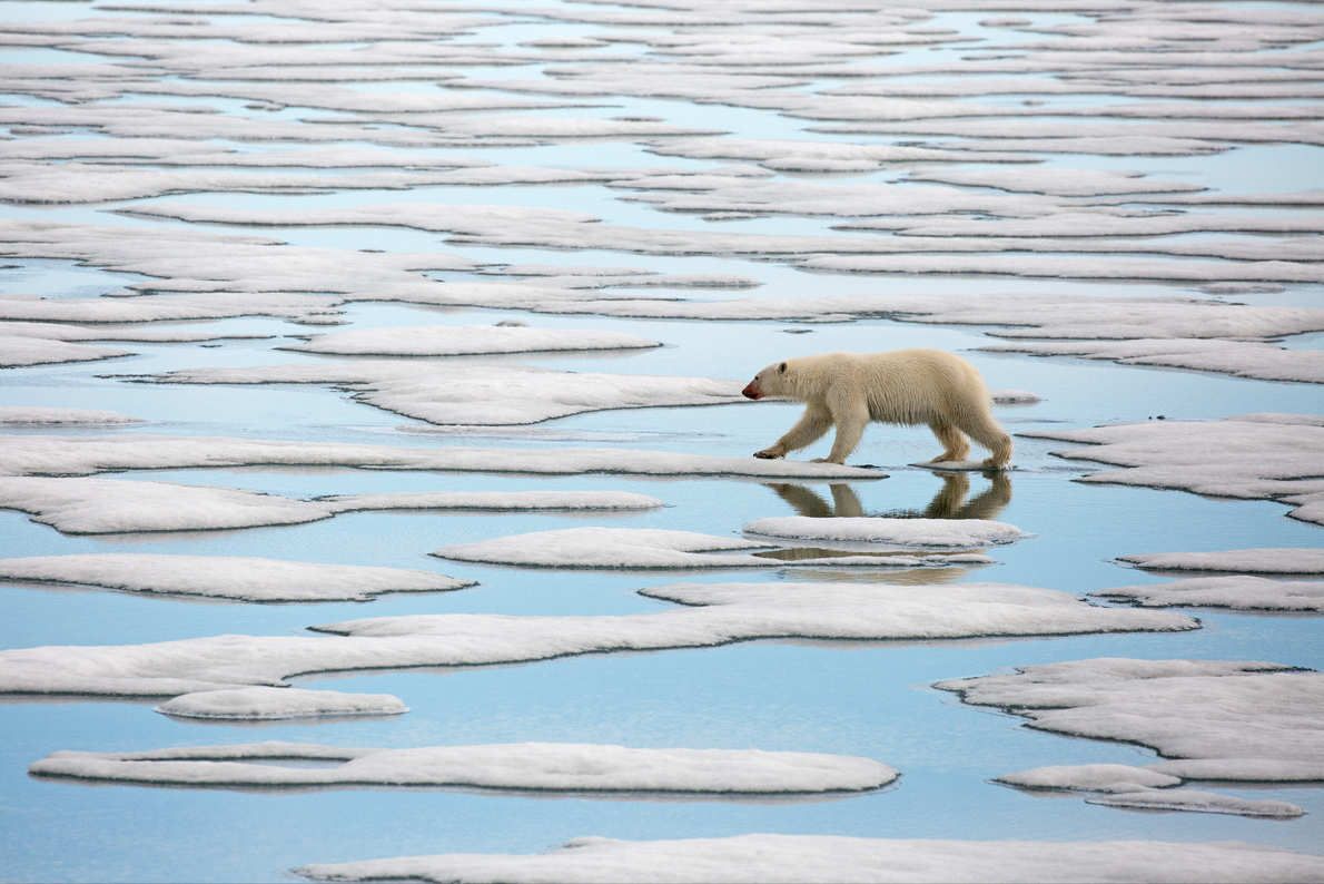 A young female Polar Bear on the island of Svalbard wanders the meltwater channels on the ...