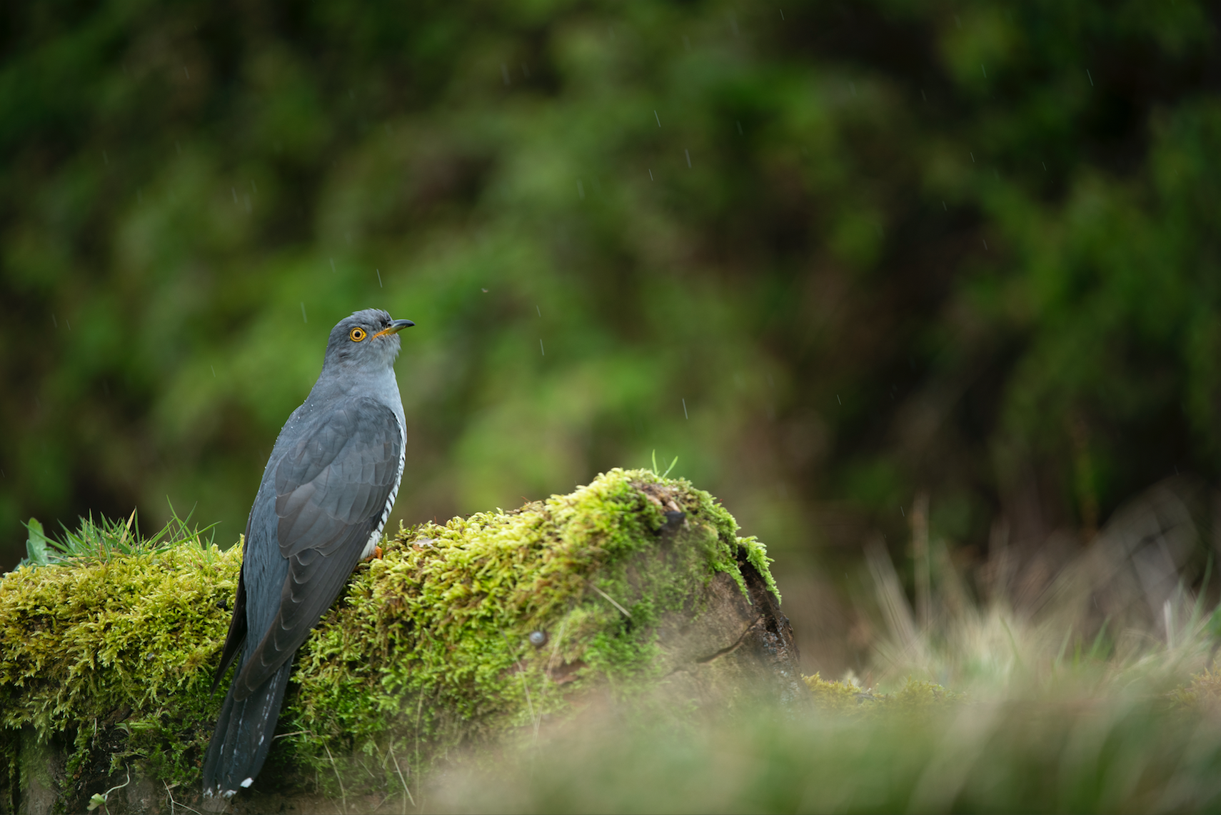 A common cuckoo male in a summer shower, Surrey.