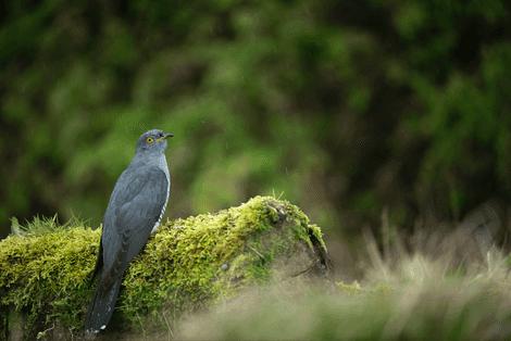 Bird of the Week: Cuckoo