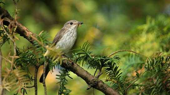 The loss of nesting habitat for the spotted flycatcher has reduced numbers dramatically in the last ...