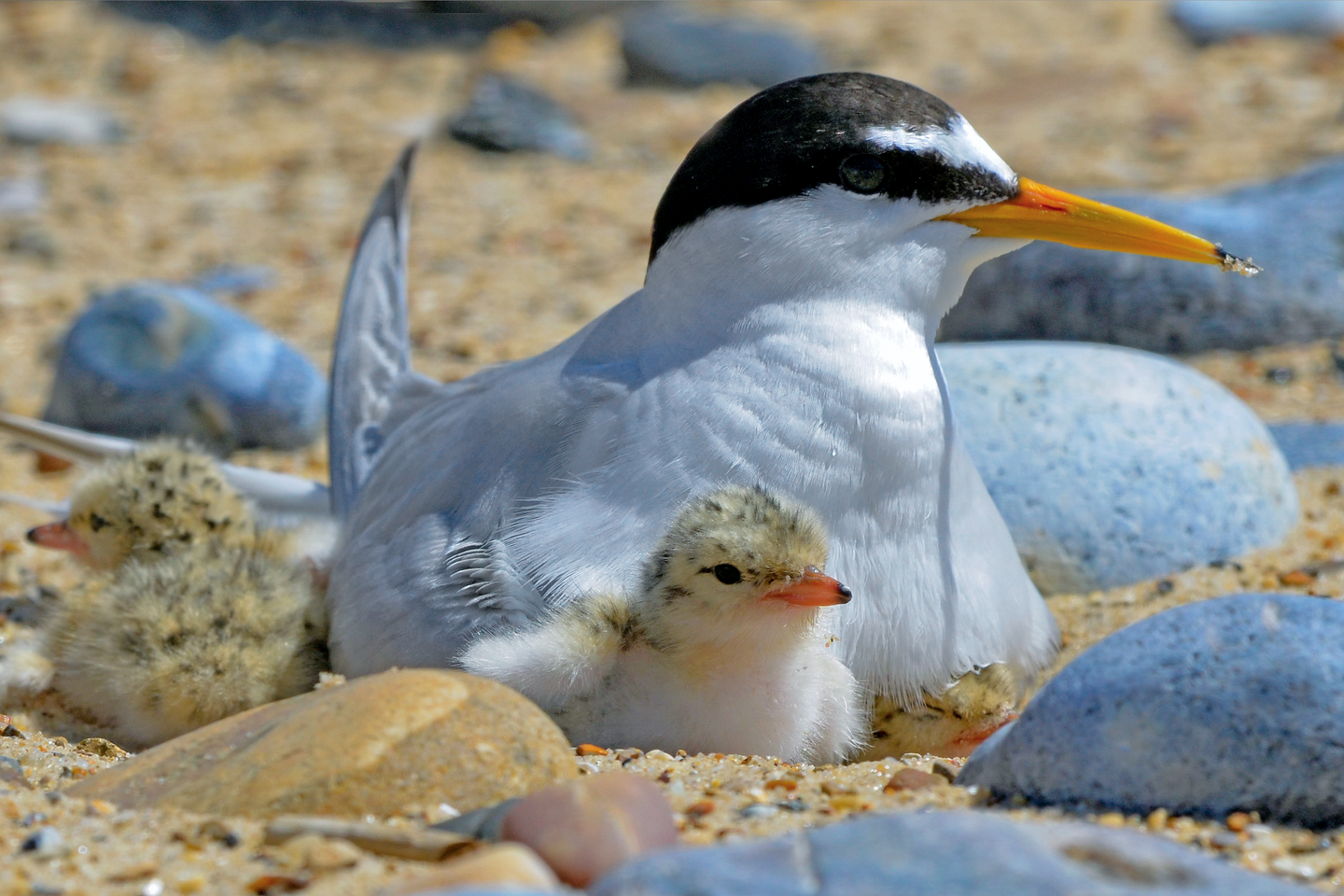 Bird of the Week: Little Tern