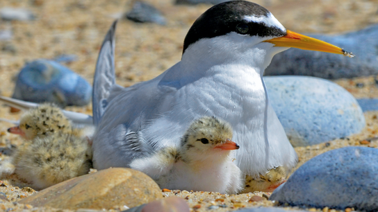 An adult sits with chicks in a nest, which are typically situated on coastal dunes.