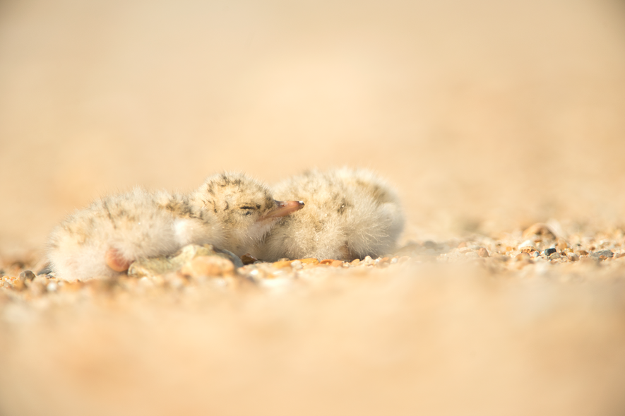 Little tern chicks are coloured to camouflage them against the sand to help protect them against ...