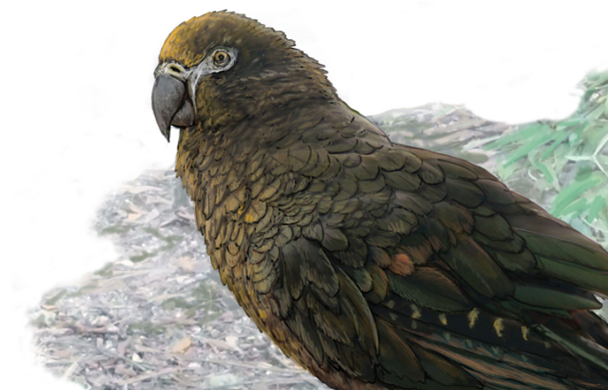 This toddler-size parrot was a prehistoric oddity