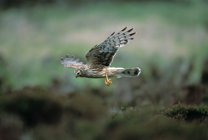 The Hen Harrier's plumage differs dramatically between males and females, with the latter a brown colour ...