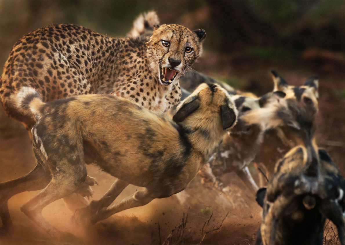 An ageing one-eared cheetah is set upon by a pack of wild dogs in Zimanga Private ...