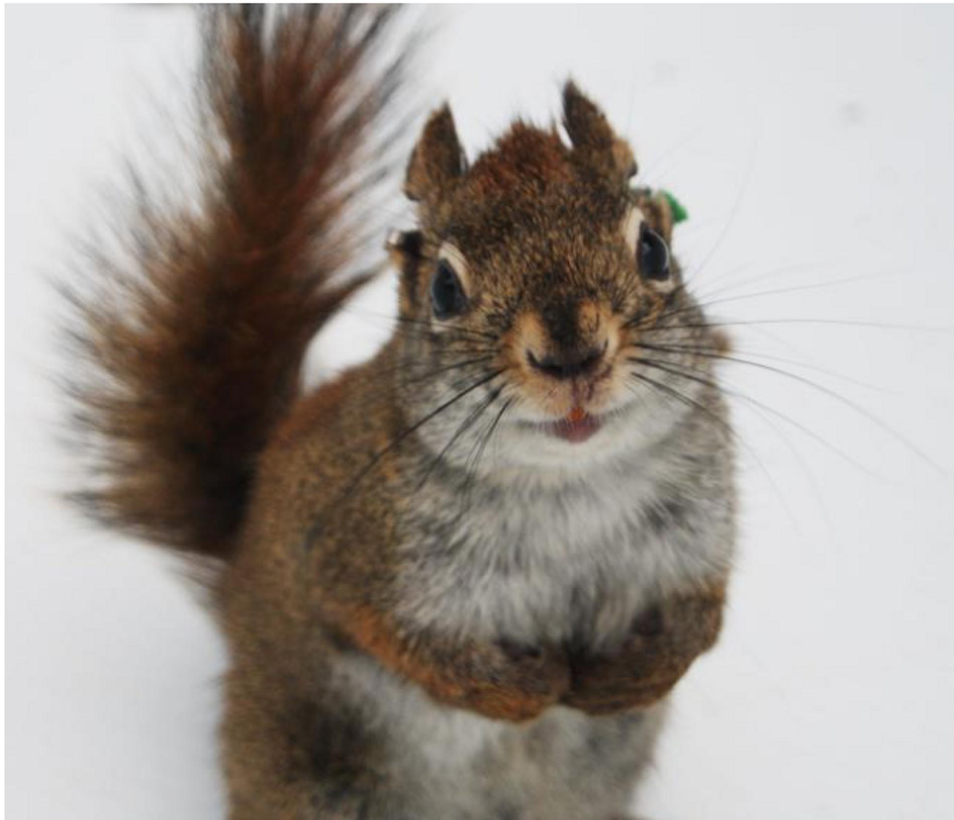 Red Squirrel in Yukon