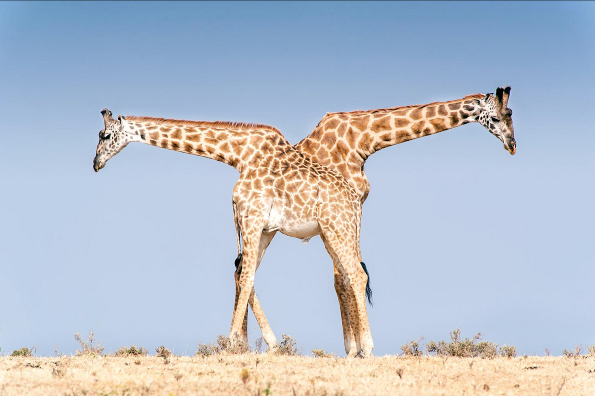 A pair of male Masai giraffes rest in Tanzania's Ngorongoro Conservation Area. Moments before this shot ...
