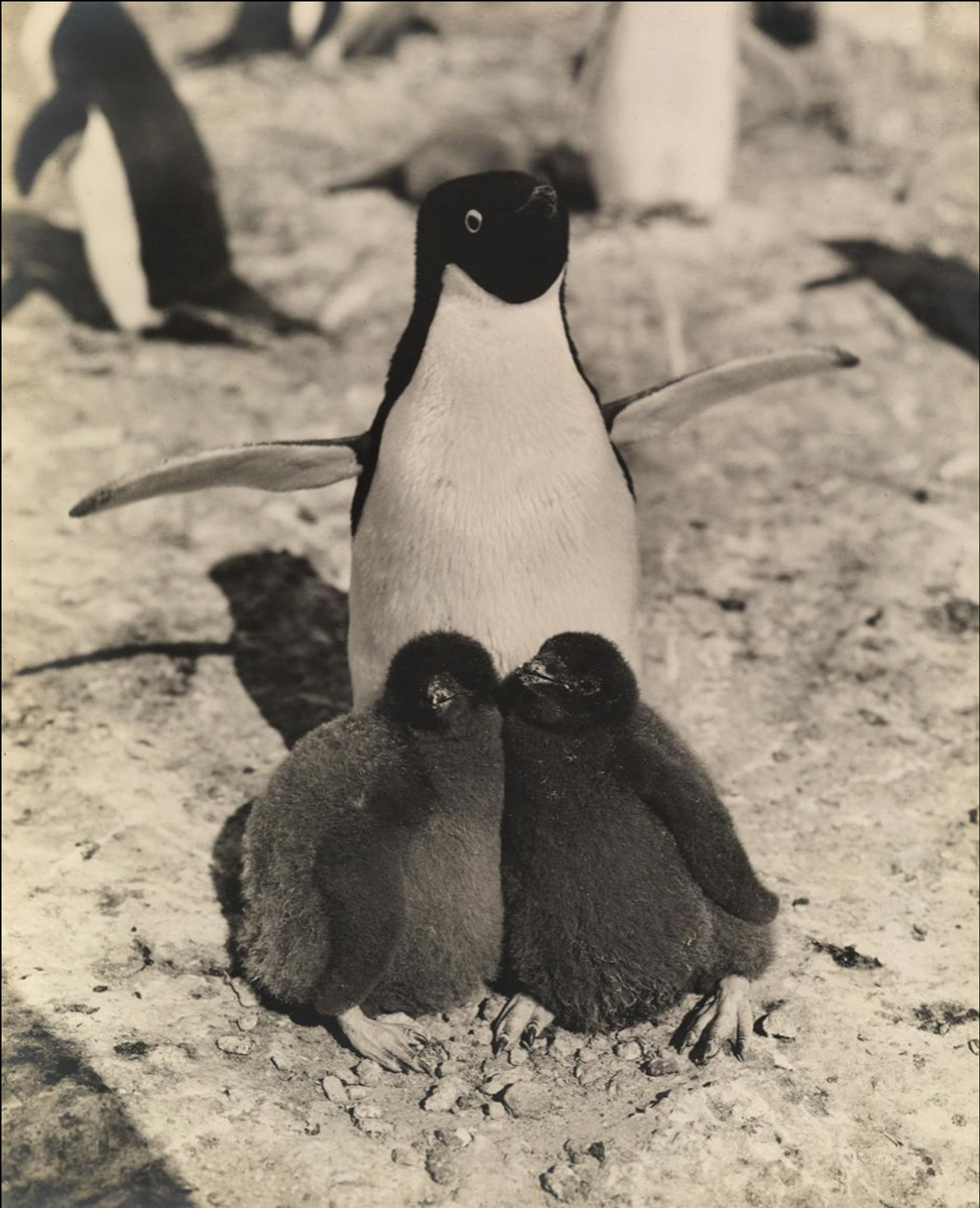 A penguin holds out her wings to protect her two chicks.