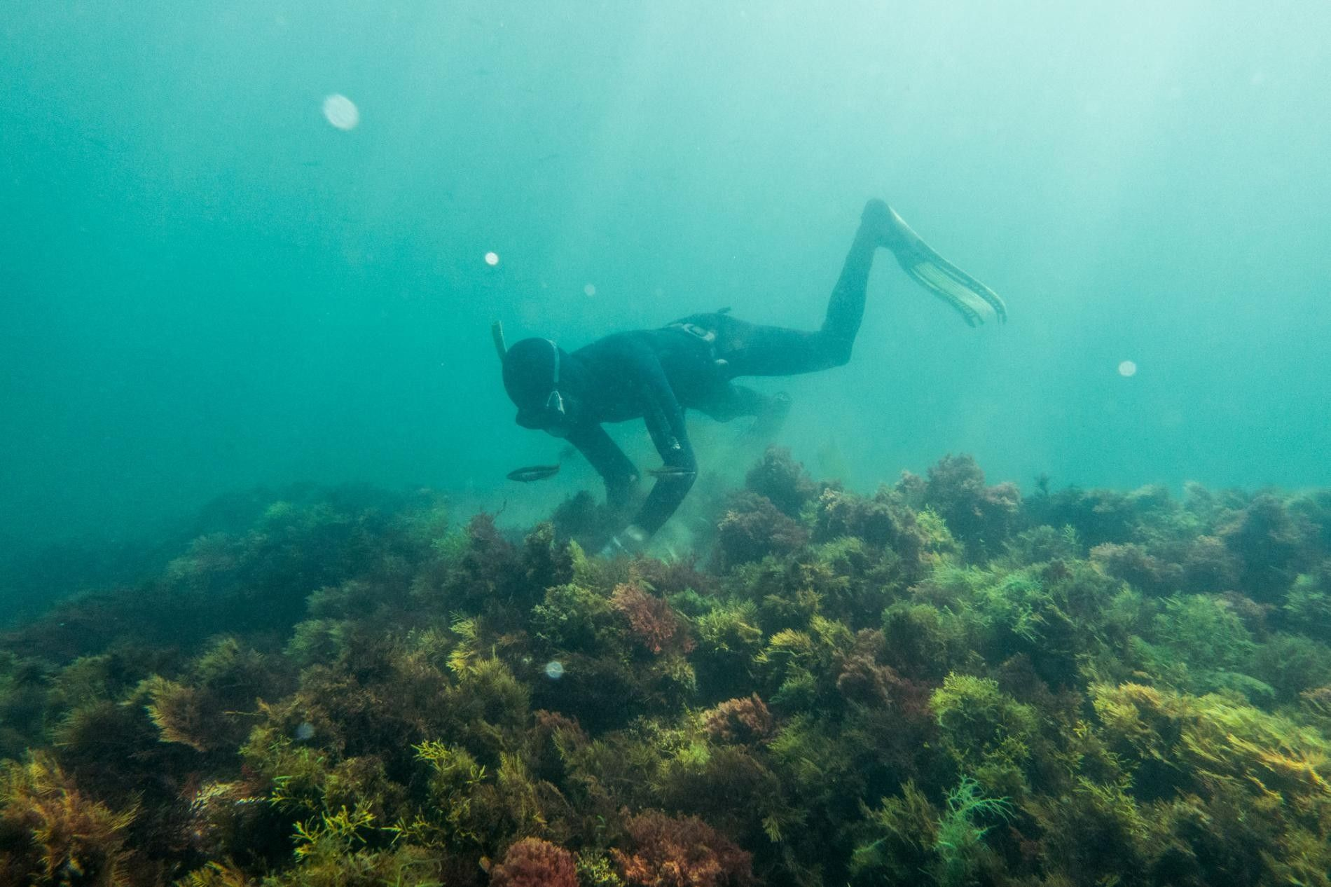 Holding his breath, diver Ibrahim Morsli hunts for sea cucumbers off the Moroccan village of Moulay ...