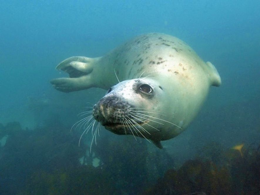 UK: Snorkelling with the Scilly seals