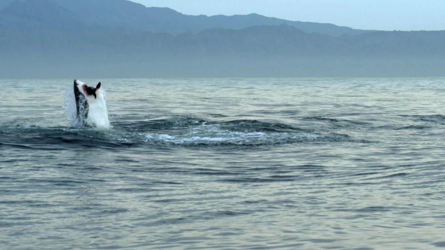Seal Pup Killed By Shark