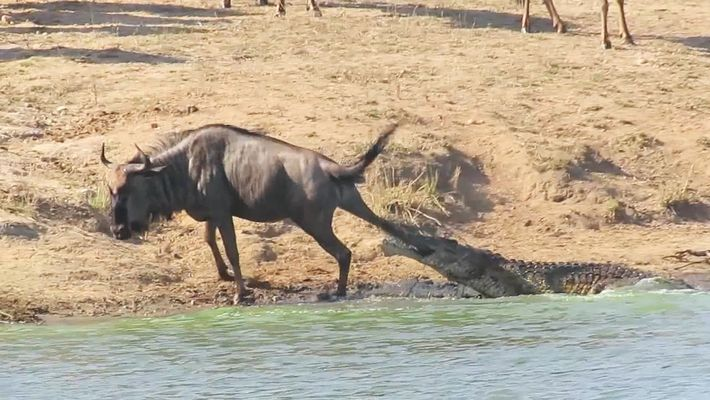 See Hippos Save a Wildebeest From Crocodile´s Jaws