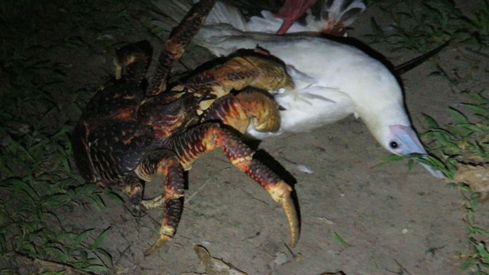 See This Giant Crab Attack a Bird