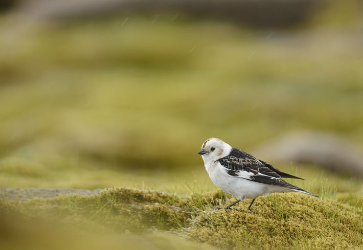 A snow bunting, 'Plectrophenax nivalis', male in breeding plumage, in the Cairngorms National Park, Scotland,.