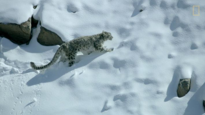 Watch a dramatic snow leopard hunt