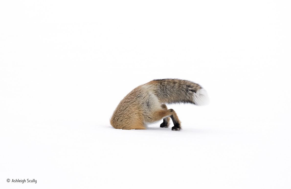 With deep snow blanketing the Lamar Valley in Yellowstone National Park, this female American red fox ...