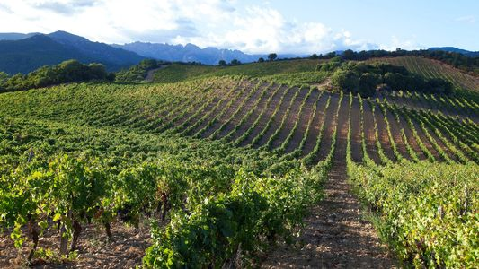 Discovering Corsican wine