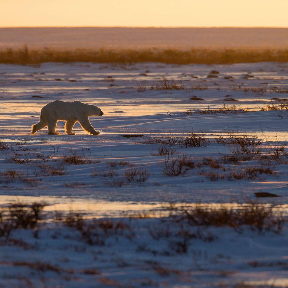 Manitoba: Bear witness