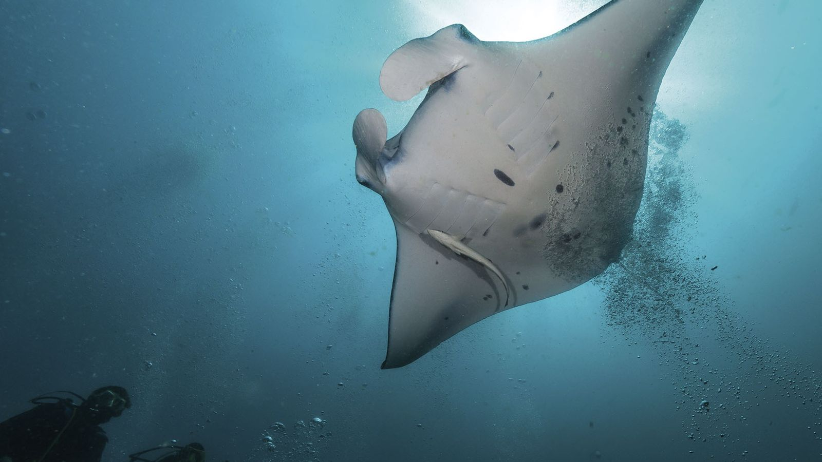 Diving with rays in the Maldives