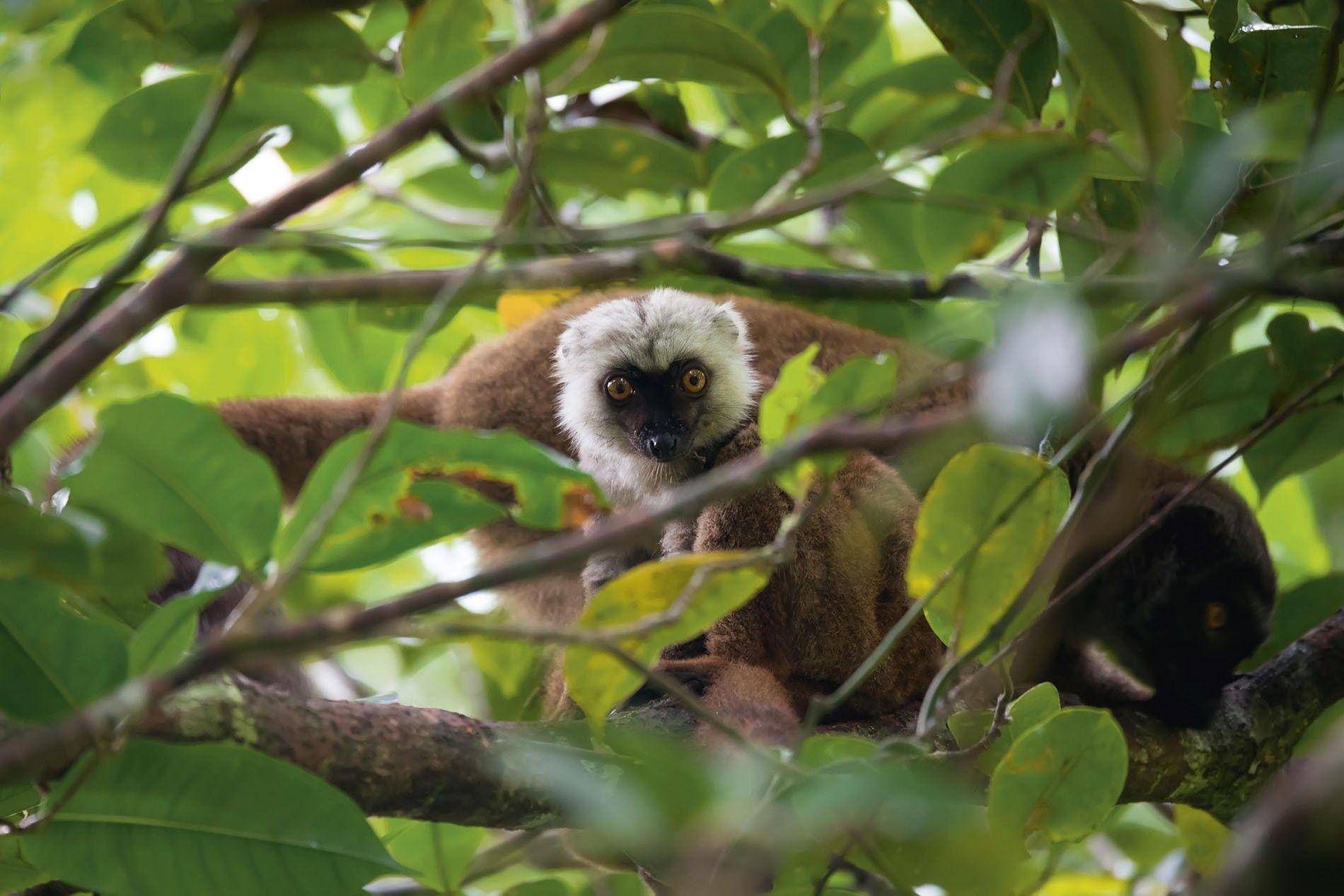 White-headed lemur